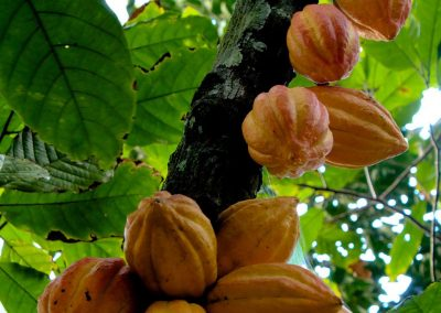 Cocoa Pods Growing